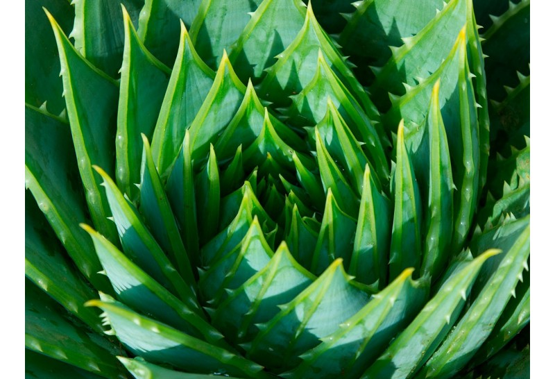 5 Beneficios de consumir Aloe Vera